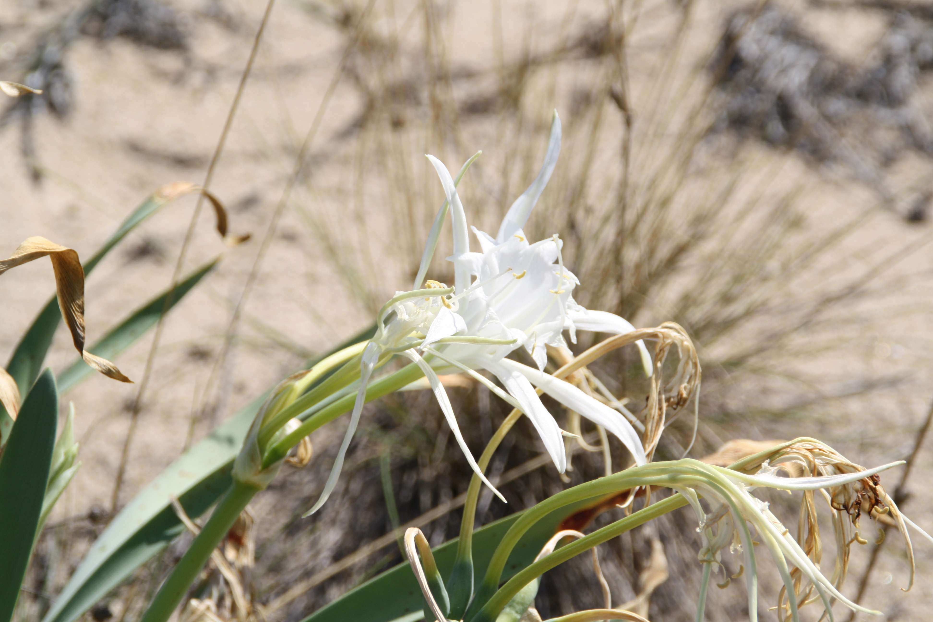 orquidea_del_desierto